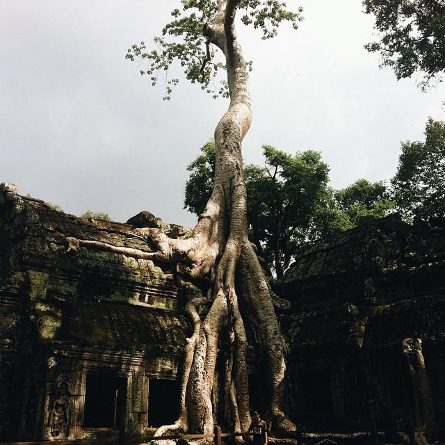tree_kambodscha